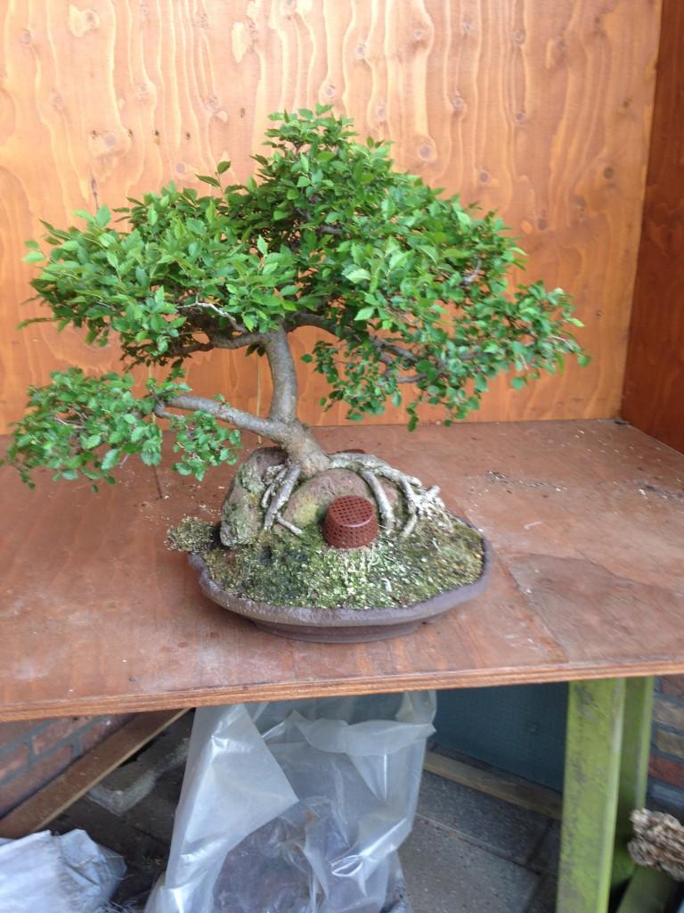 Bonsai Café NL 3 mei 21